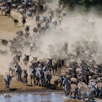 Gnu e zebre attraversano il fiume Mara